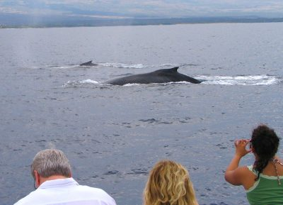 sailing with whales in Hawaii